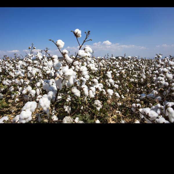 棉花被哪里好-新疆棉花好不好?[寝夜思家纺]